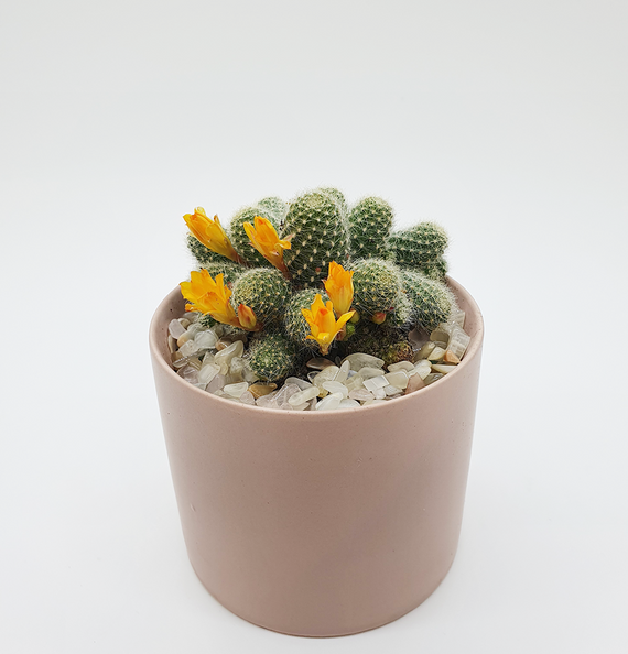 Aylostera Cactus with Peach Moonstone