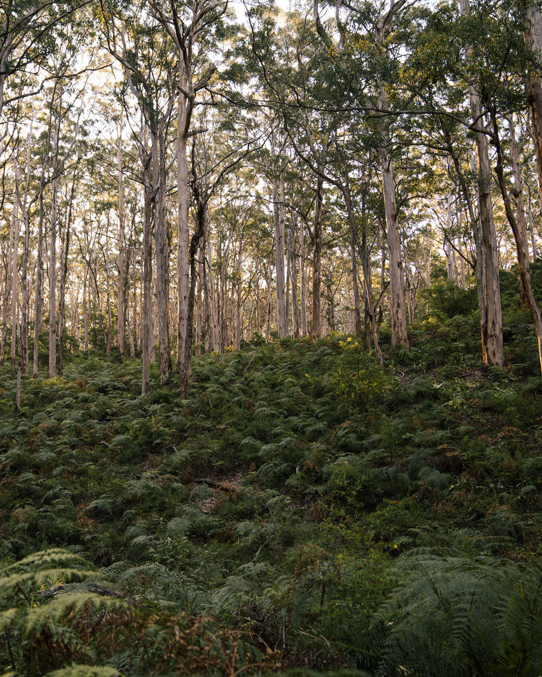 Boyanup forest in South Western Australia