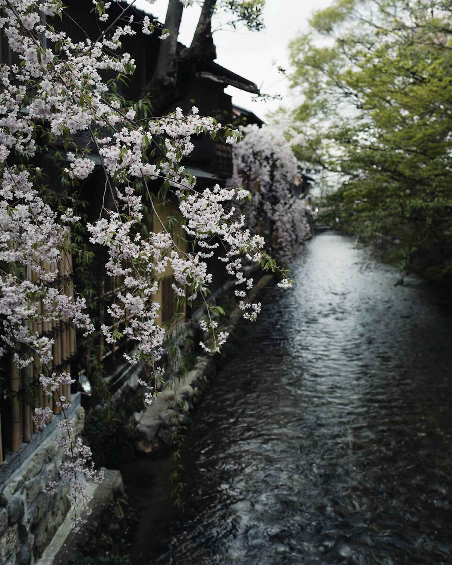 Cherry blossom in Gion, Kyoto