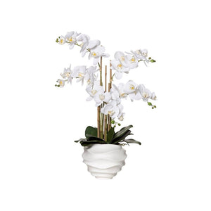 Butterfly Orchid in Ripple Pot - White