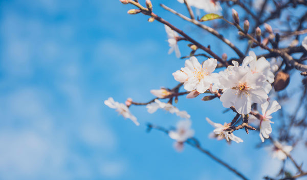 A brief history of the Almond tree...