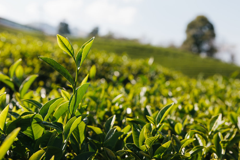 What is Ceylon Tea?