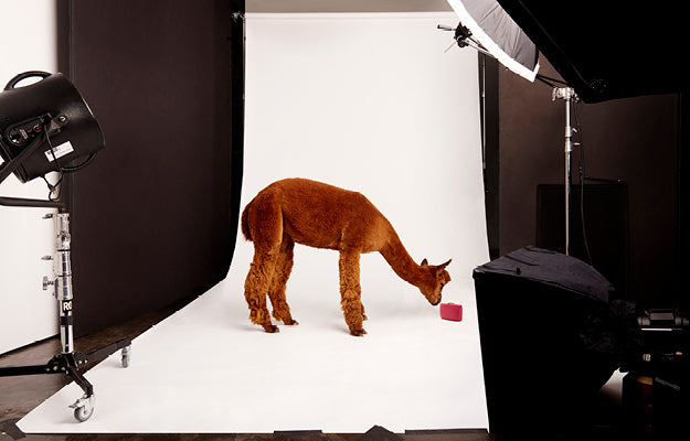 A llama interrupts a photo shoot to inspect a small pink item.