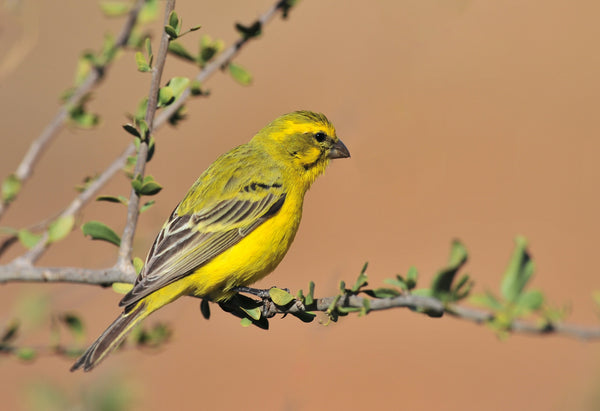 A little history of canary birds
