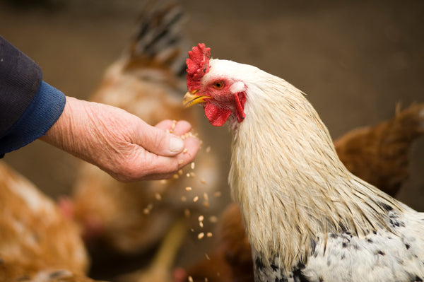 A little guide to feeding chickens & poultry