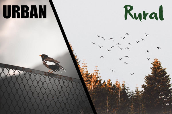 What's the difference between rural and urban birds?