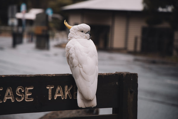 A little guide to cockatoo birds