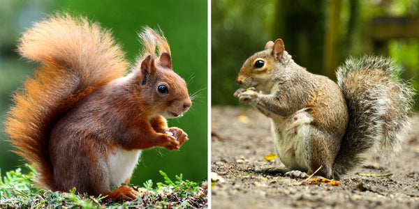 The Seedzbox Guide to Red Squirrels & Grey Squirrels