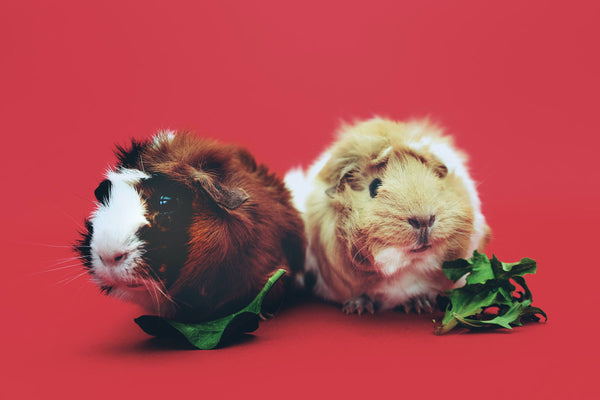 A little guide to guinea pigs and grooming
