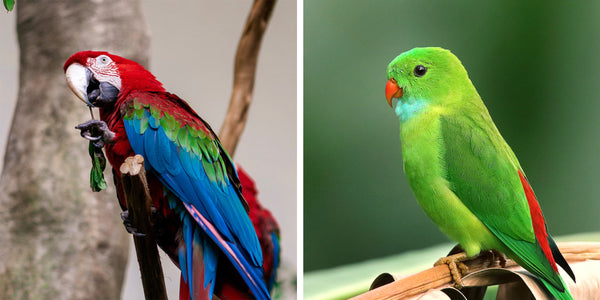 What is the difference between parrot and parakeet?