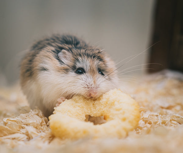 A little guide to Campbell's hamsters