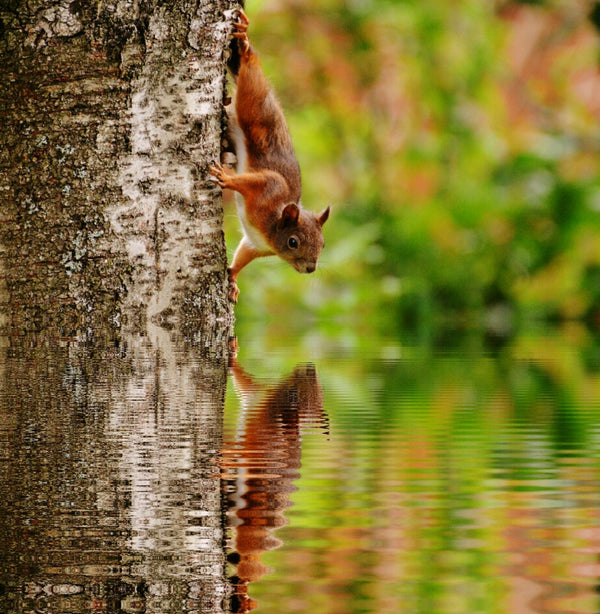 Can squirrels swim?