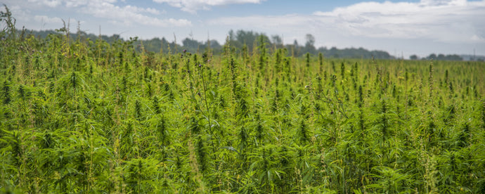 Hemp vs. Marijuana – What's the Difference?