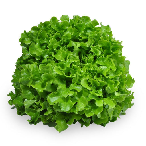 Lettuce- Green Oak Head