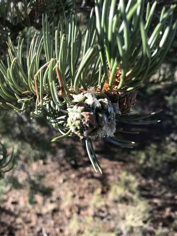 Pine Poultice - This is a little southern comfort - Wands Of Nature