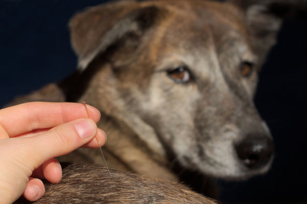 dog receiving acupuncture therapy, use of acupuncture in veterinarian practices