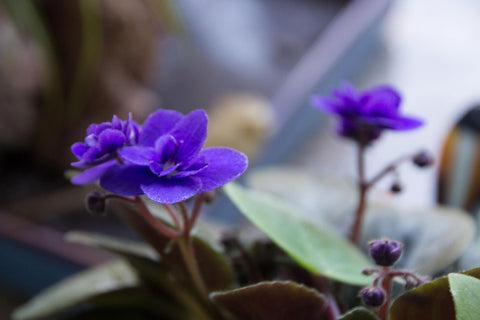 dwarf African violet in bloom with purple blossoms
