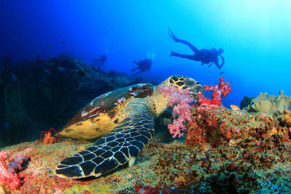 SCUBA Divers and a sea turtle with sea coral