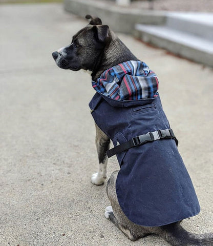 a gray short haired curr dog sitting on concrete and wearing a navy blue rain jacket with white and navy plaid interior
