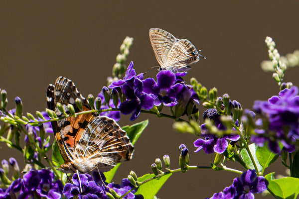 painted lady butterflies feeding on durante blossoms