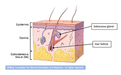 basic layers of the skin, the epidermis, dermis and subcutaneous fat tissue.  Cartoon shows hair follicle and sebaceous gland origins.
