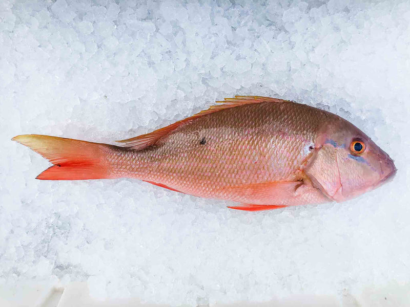 Mutton / Mangrove Snapper