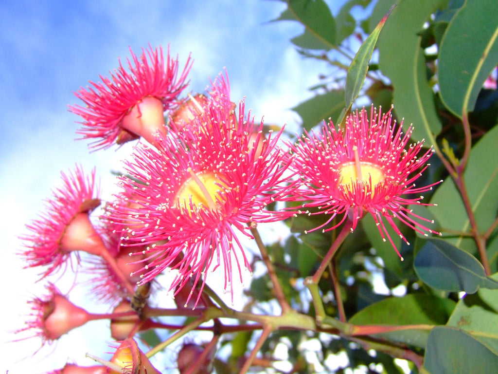 eucalyptus honey flower bees nature blog beelixir luxe virtues medecine