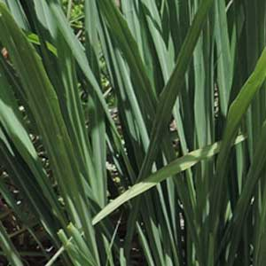 lemongrass;lemongrass main