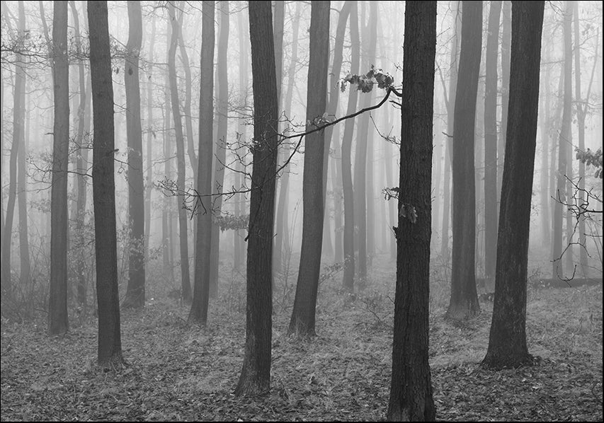 17728855 Trees in the mist, available in multiple sizes
