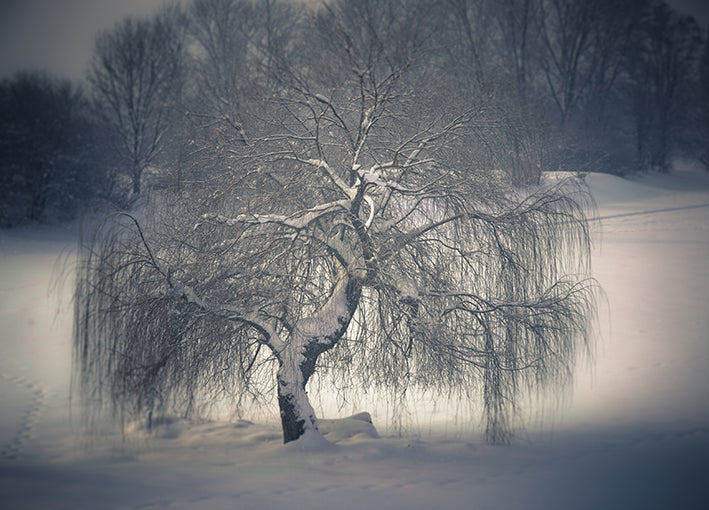 24217921 Frozen Willow, available in multiple sizes
