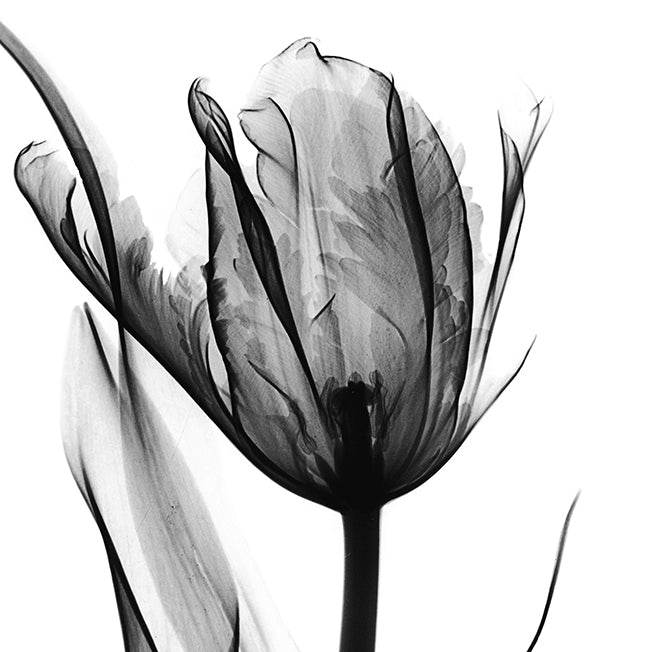 39639 MA Black & White Tulip , available in multiple sizes