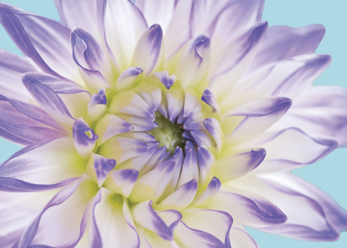 74039 MA Purple Dahlia II, available in multiple sizes