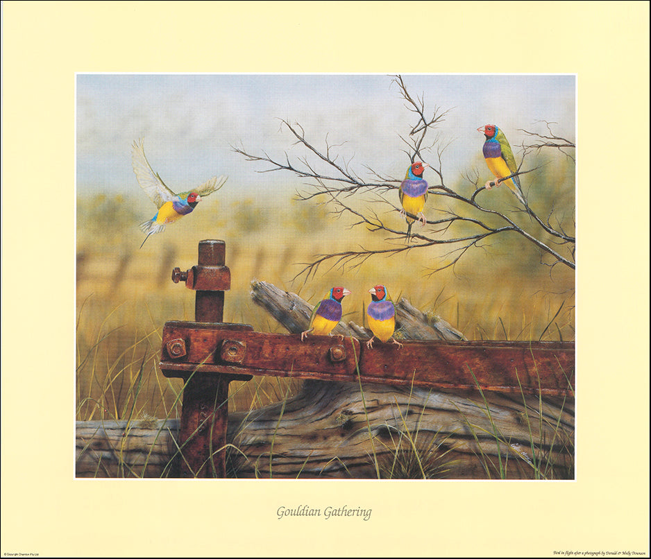 AAC IN007 Gouldian Gathering by Inder Naru multiple sizes on paper
