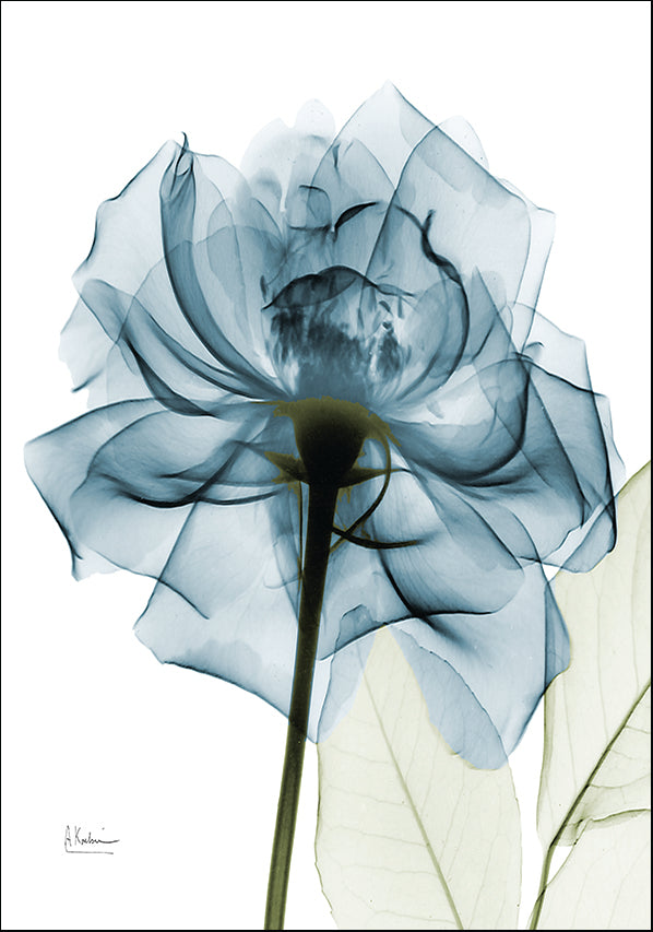 AK5-SQ-359A2 X-Ray Teal rose, available in multiple sizes