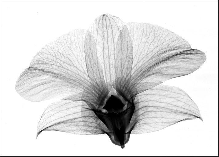 BERMYE52158 Dendrobrium On Back X-Ray Orchid, by Bert Myers, available in multiple sizes