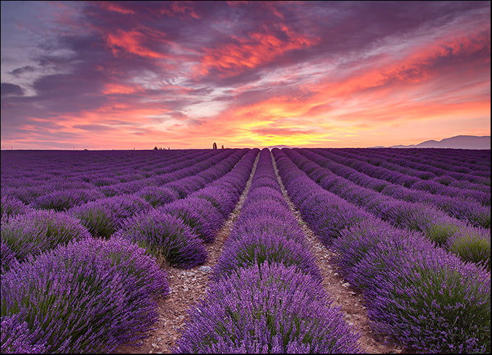 MICBLA140490 Sunrise over Lavender, by Michael Blanchette Photography, available in multiple sizes