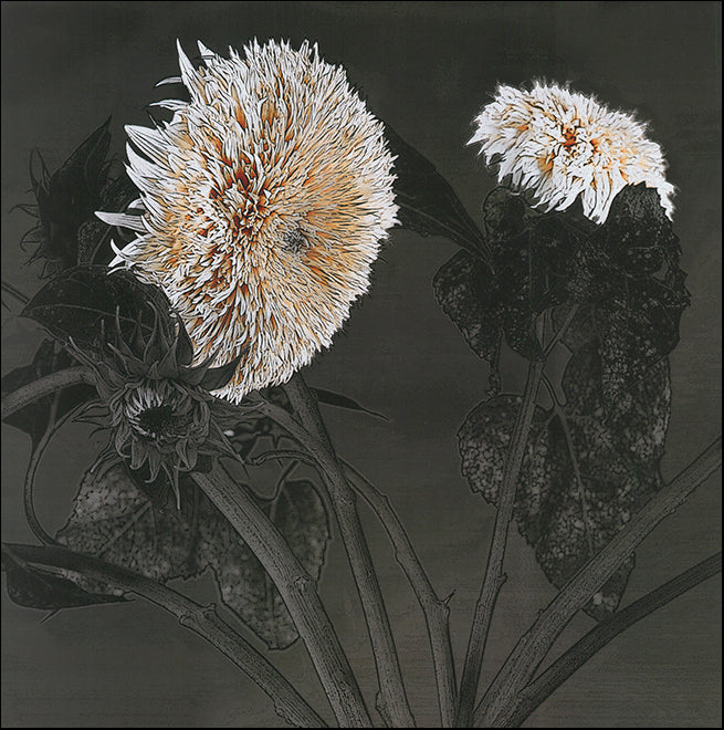 S 6716-20 Sunflowers 1 by Shelley Lake 50x50cm on paper