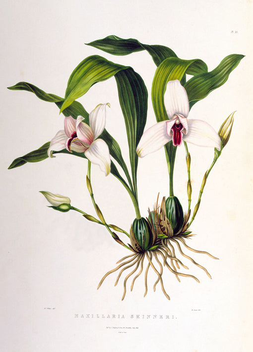 81417 Maxillaria Skinneri, by Porter, available in multiple sizes
