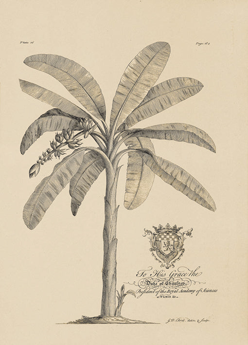 81431 Banana Tree, by Porter, available in multiple sizes