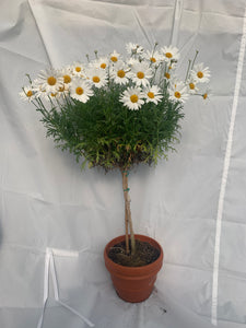 Shasta Daisy Tree - 5 inch clay pot
