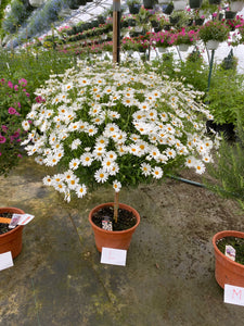 Daisy Tree - 10 inch pot