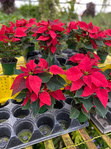 Poinsettias 4.5 pot