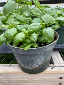 Sweet Basil 1 pot