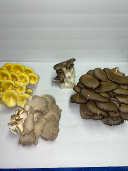 Oyster Mushrooms   Assorted Colors 1 pint