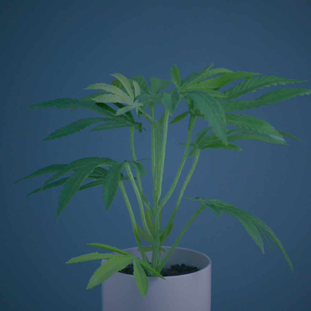 Load and play video in Gallery viewer, The Clone is the smallest of the Pot Plant collection. This Faux Pot Plant is hyperreal. Pot Plant is an artificial cannabis plant.  Potplant. Pot Plant. The Pot Plant.