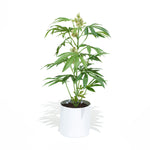 The Adult Pot Plant is a great easy to care for Plant.  This Faux Pot Plant is hyperreal. Pot Plant is an artificial cannabis plant.  Potplant. Pot Plant. The Pot Plant.