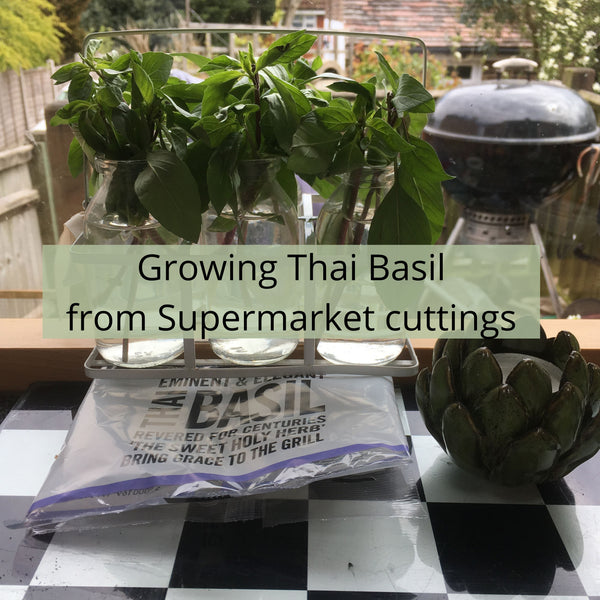 Growing Thai Basil from Supermarket Cuttings