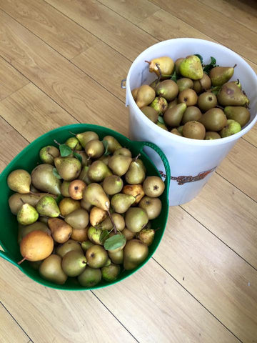 Pears for making perry
