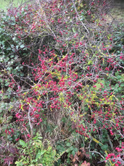 Hawthorn Berries for Haw Ketchup