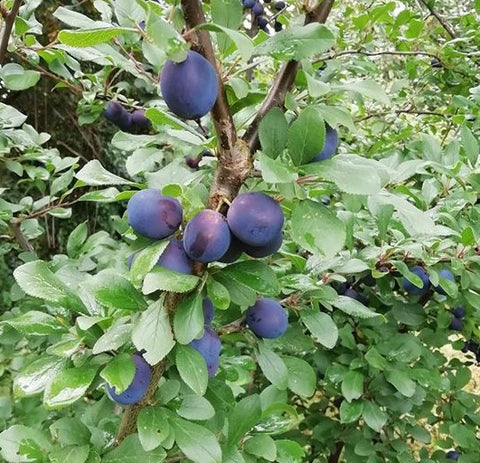 Damsons in the hedgerow